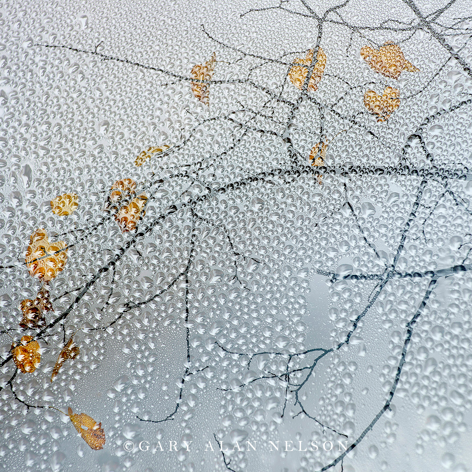 Autumn leaves through dew
