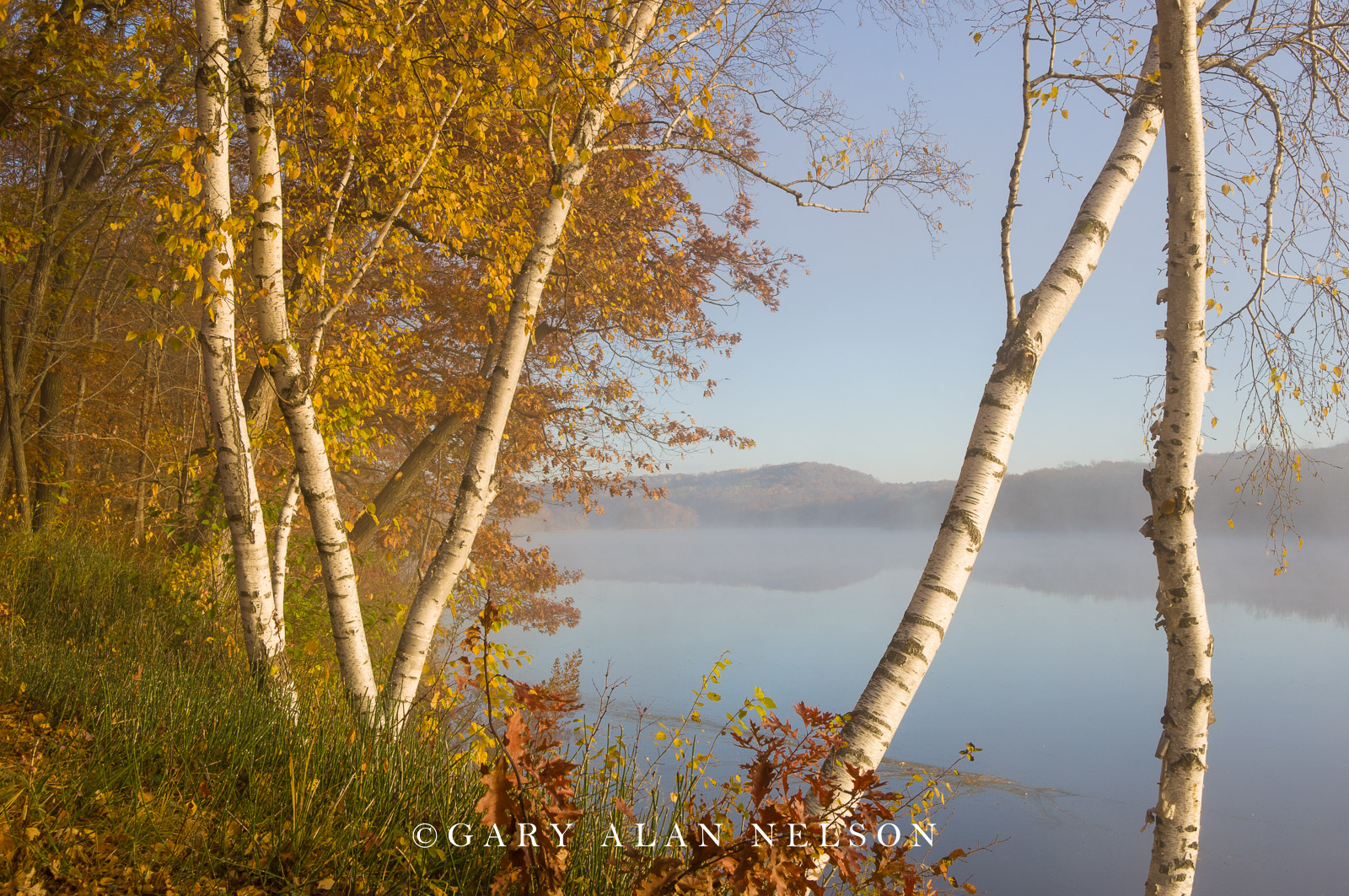 Birch trees in fog along the shore of the St. Croix National Scenic River, Minnesota/wisconsin