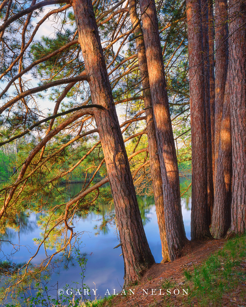 Red pine trees along the St. Croix National Scenic River, St. Croix State Park, Minnesota