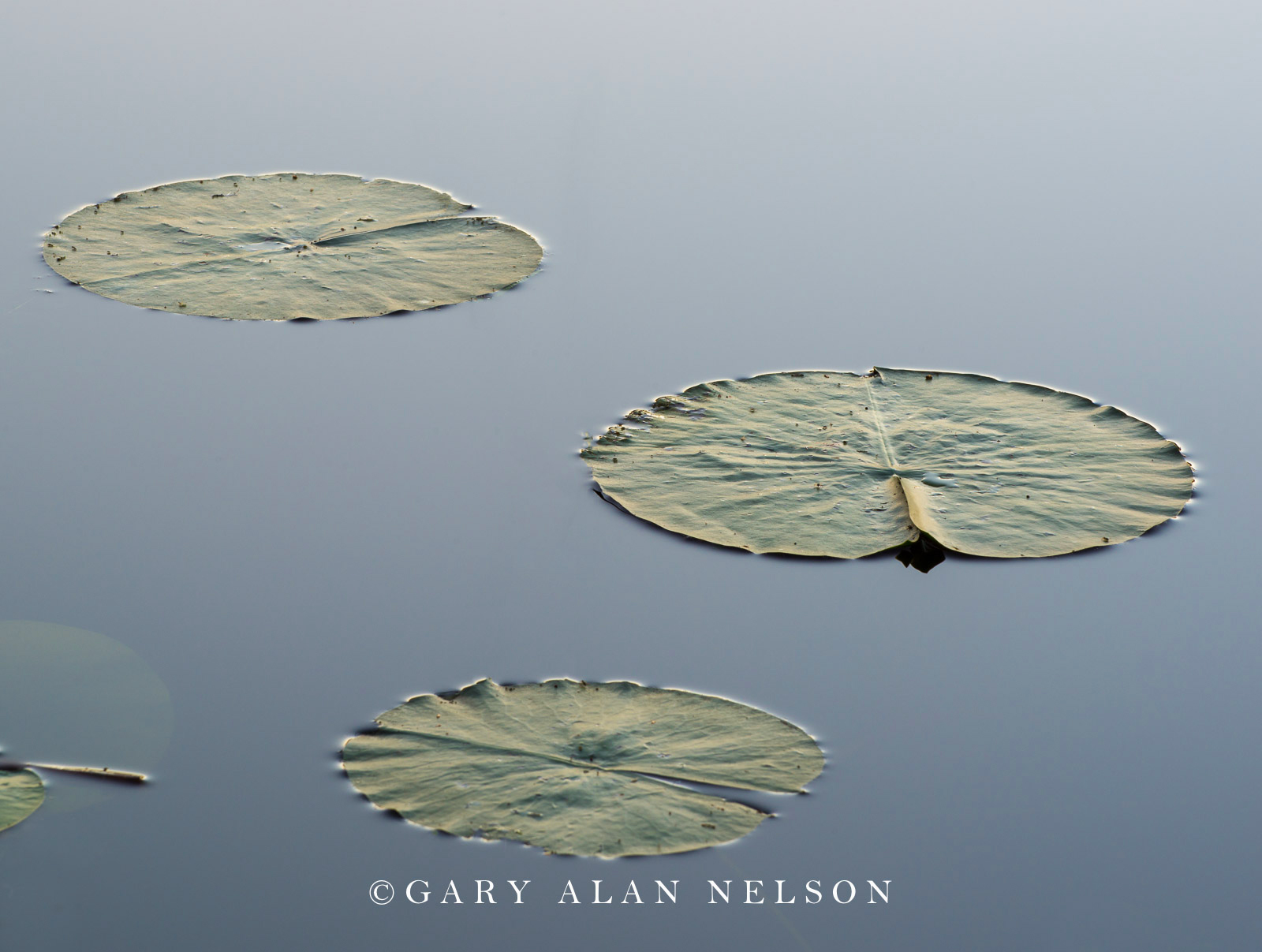 Lily pads and bulrushes, Allemansratt Park, Lindstrom, MN