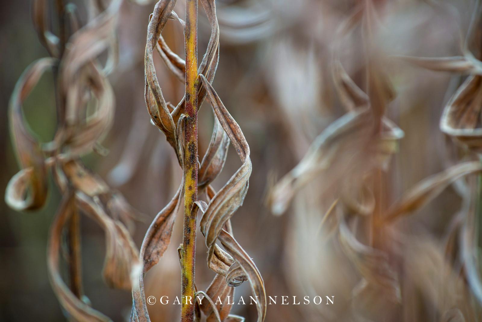 Goldenrod stalks in autumn, Allemansratt Park, Lindstrom, Minnesota