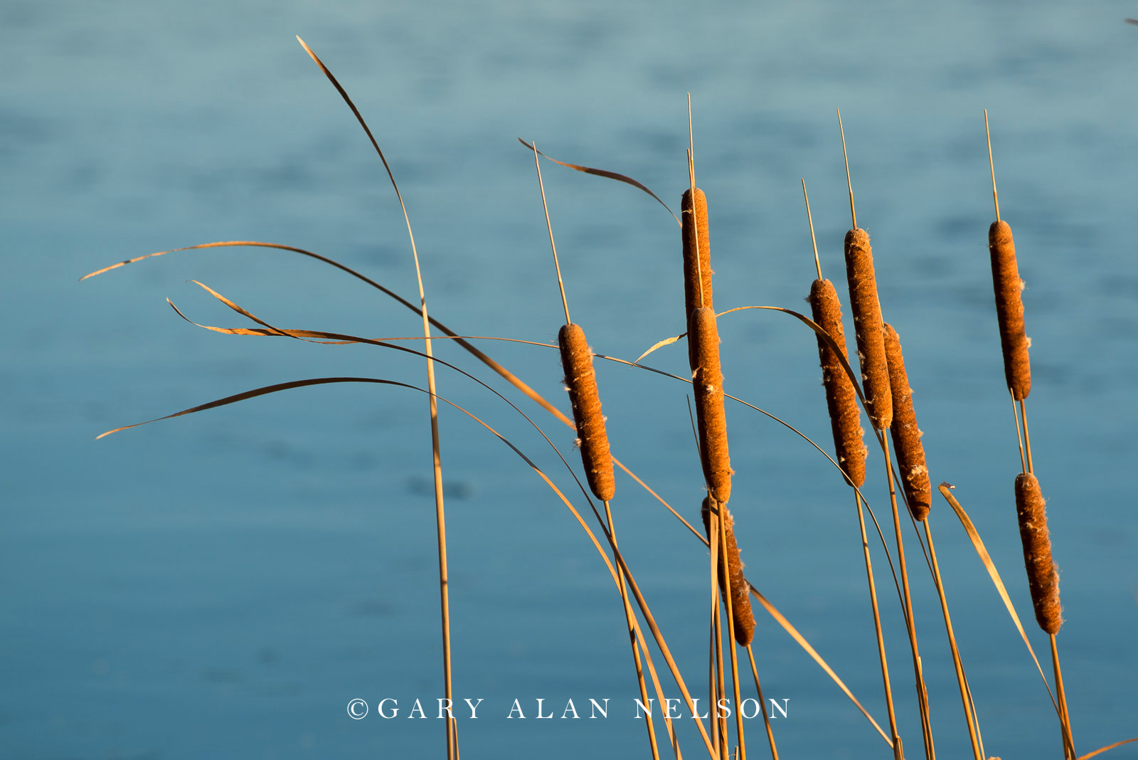 Cattails on the shore of North Center Lake, Allemansratt Park, Lindstrom, Minnesota