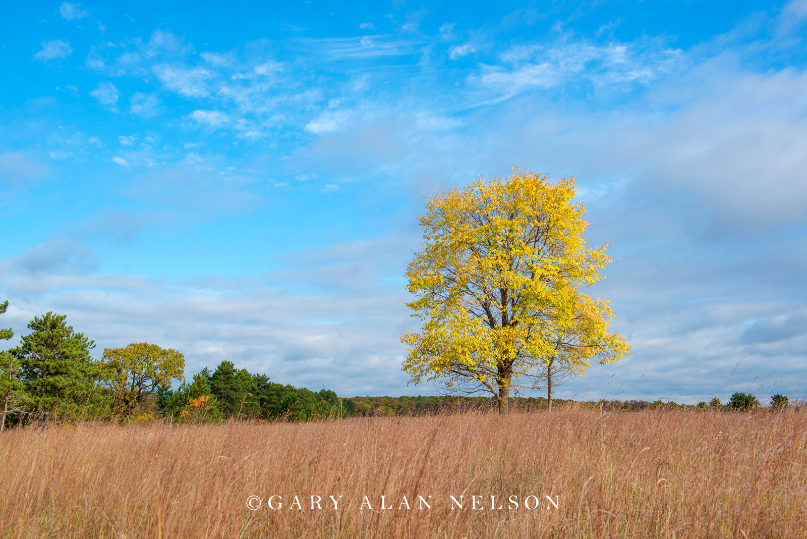 autumn, lone tree, minnesota, st. croix river bottom, state park, wild River State Park, photo