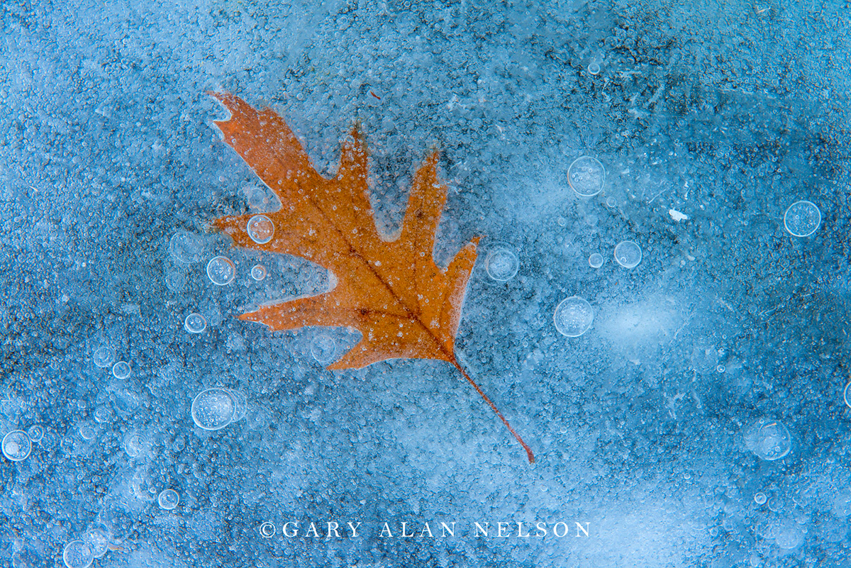 Blue ice, Ice, minnesota, oak, oak leaf, winter, photo