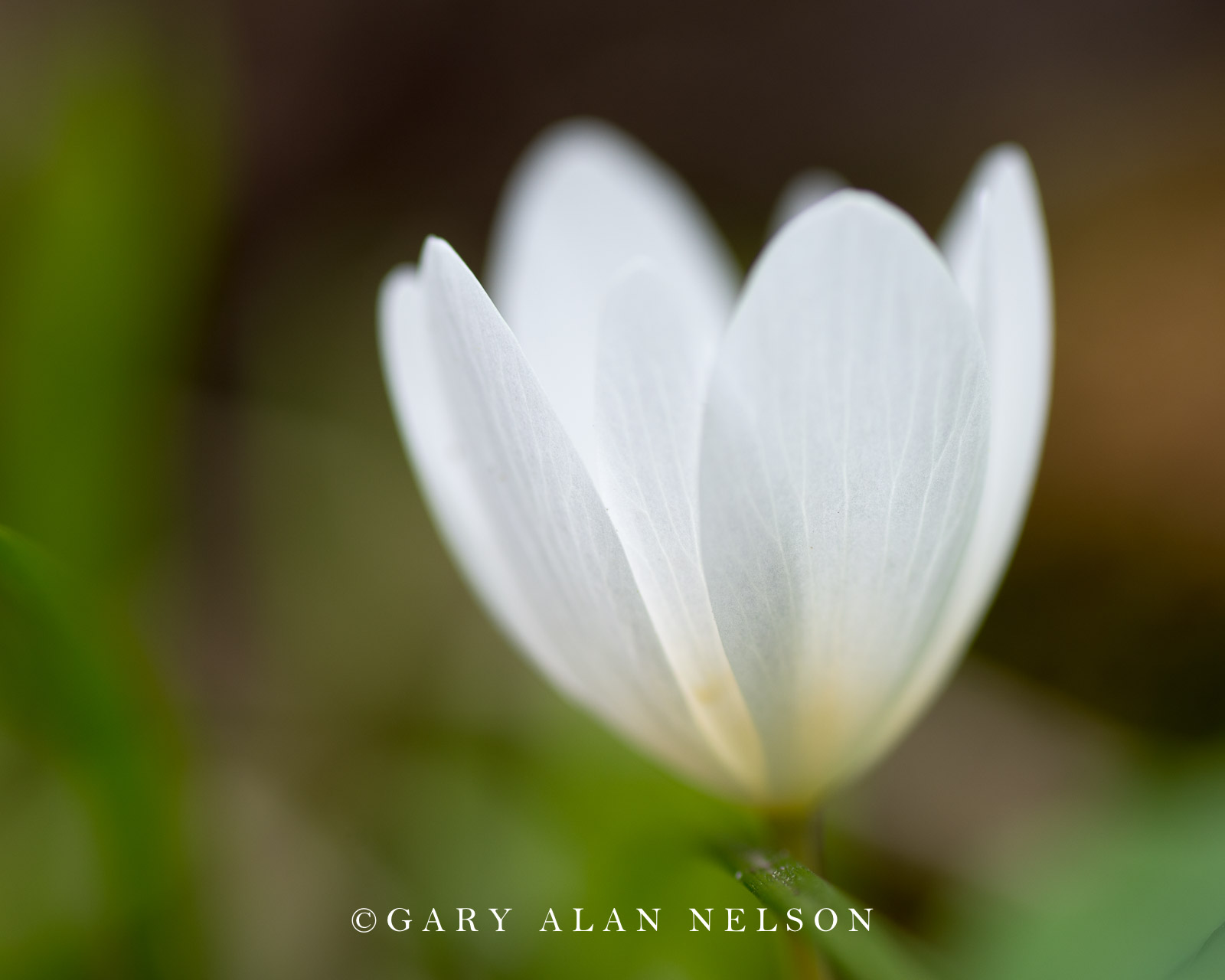Bloodroot (Sanguinaria canadensis), Intertate State Park, St. Croix National Scenic Riverway, Minnesota