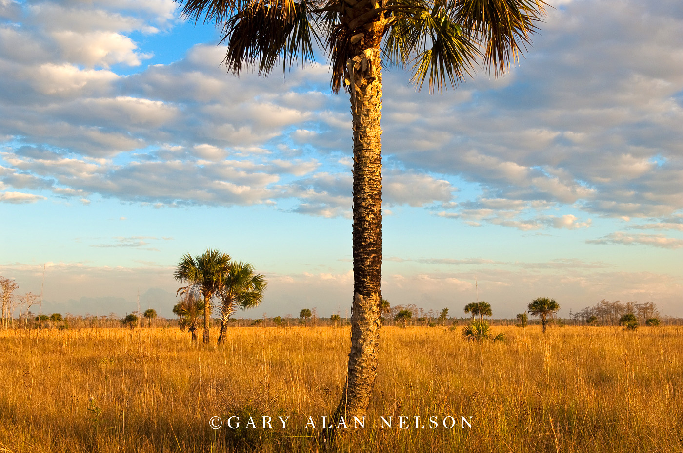 big cypress national preserve, florida, palm, clouds, photo