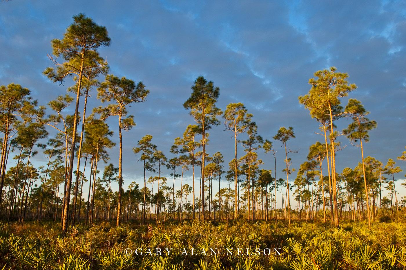 florida, everglades national park, slash pines, palmetto plants, photo