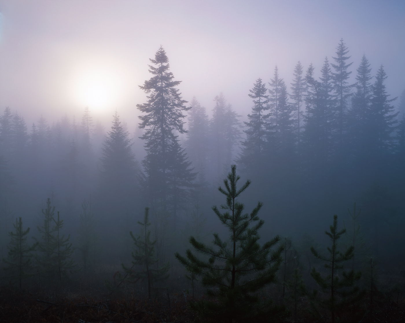 Fog Shrouded Pines on the lolo trail, Nez Perce Ntl. Forest, Lewis and Clark National Historic trail, Idaho