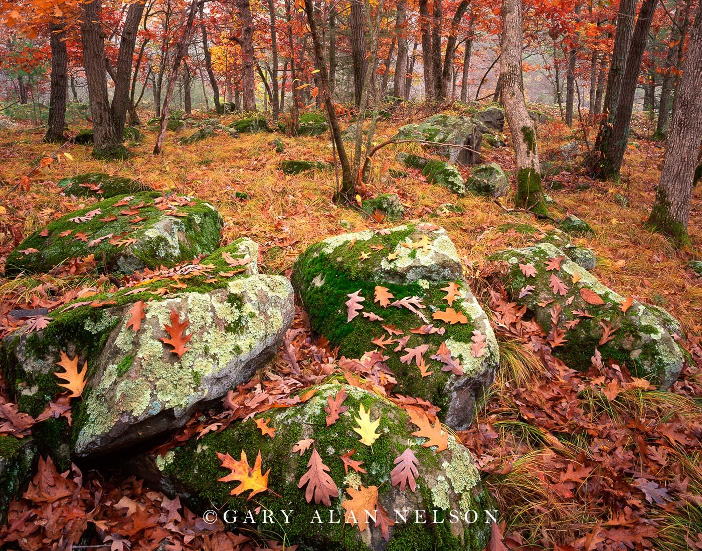 oak, st. croix river, boulders, photo