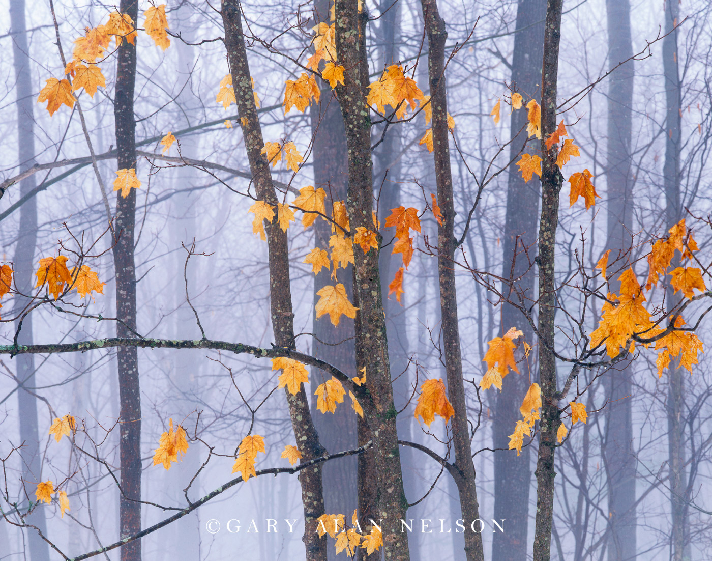 state forest, minnesota,maple leaves, photo