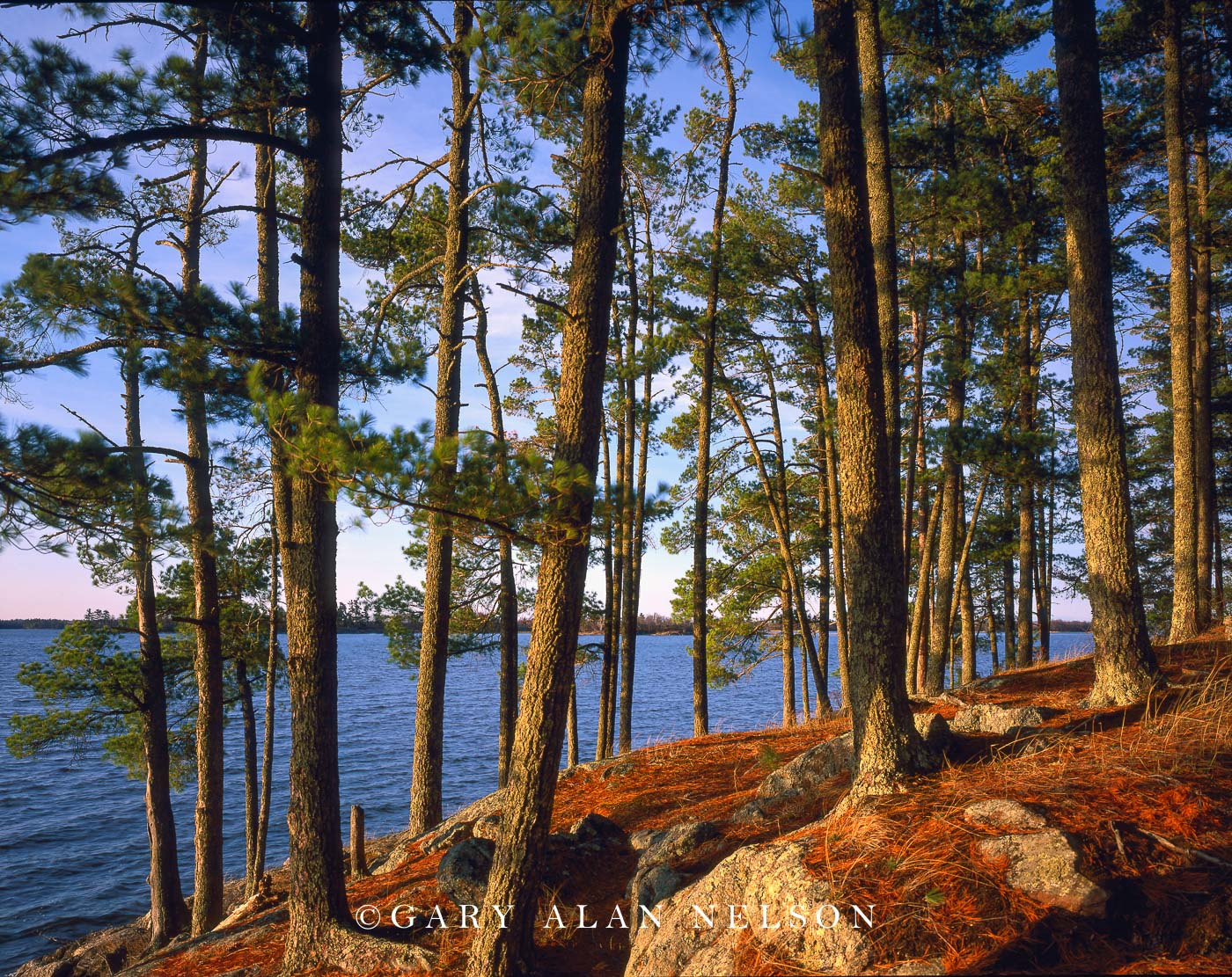 minnesota, voyageurs national park, white pine, photo