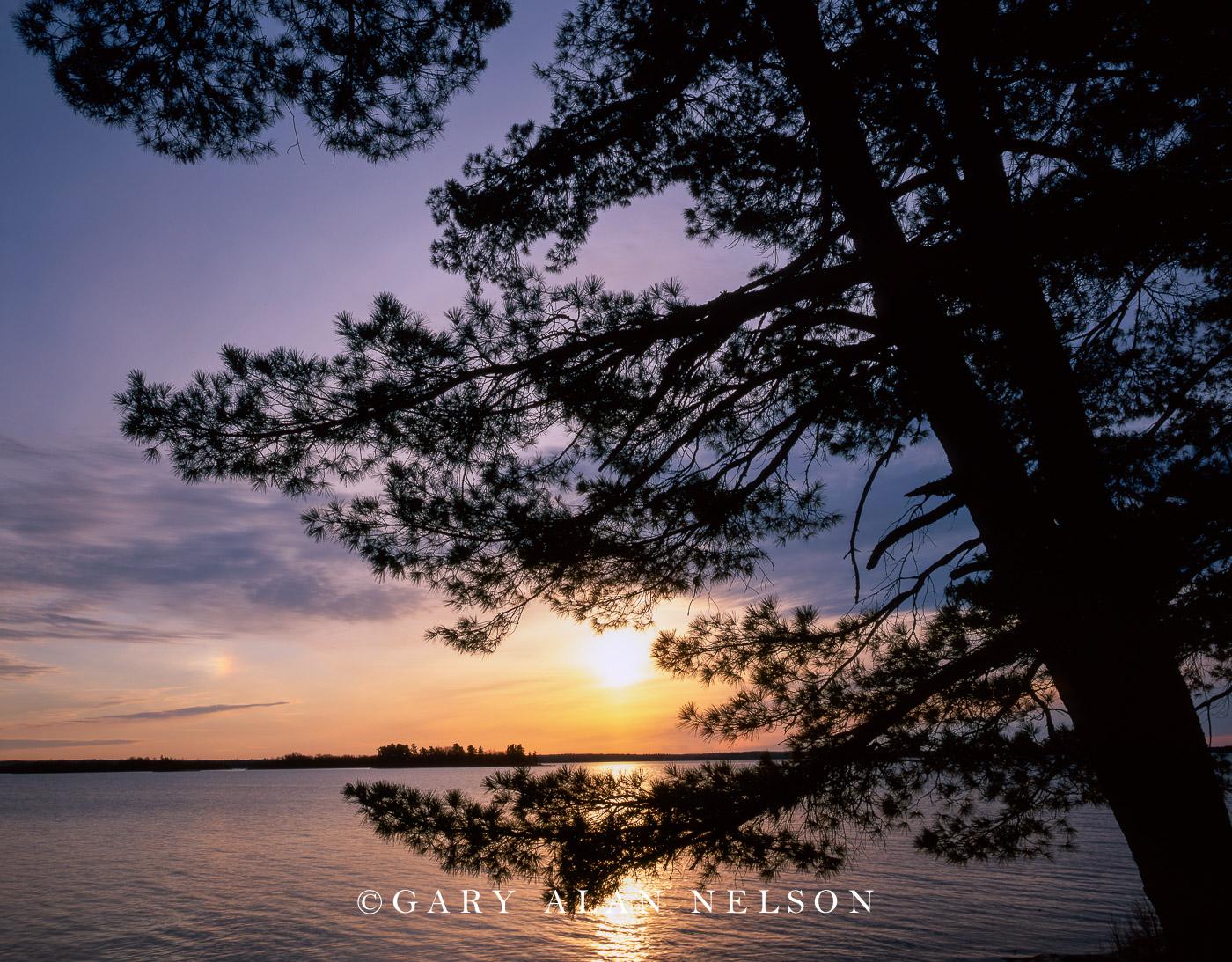 voyageurs national park, minnesota, white pine, kabetogama lake   , photo