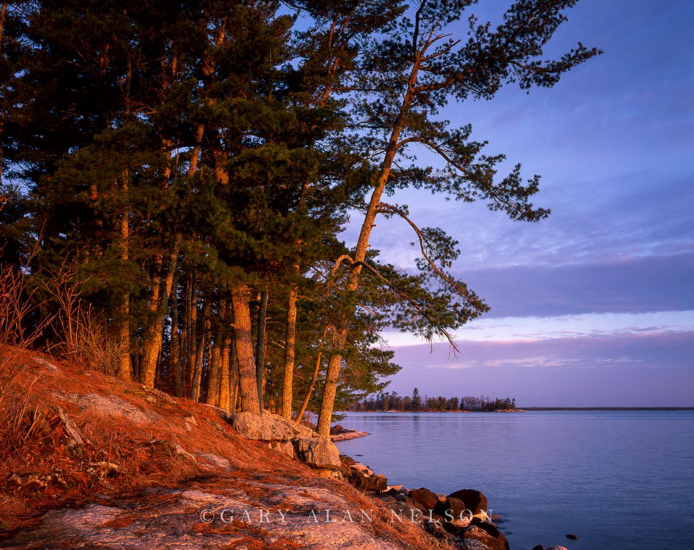 White pine trees leaning over Kabetogama Lake, Voyageurs National Park, Minnesota