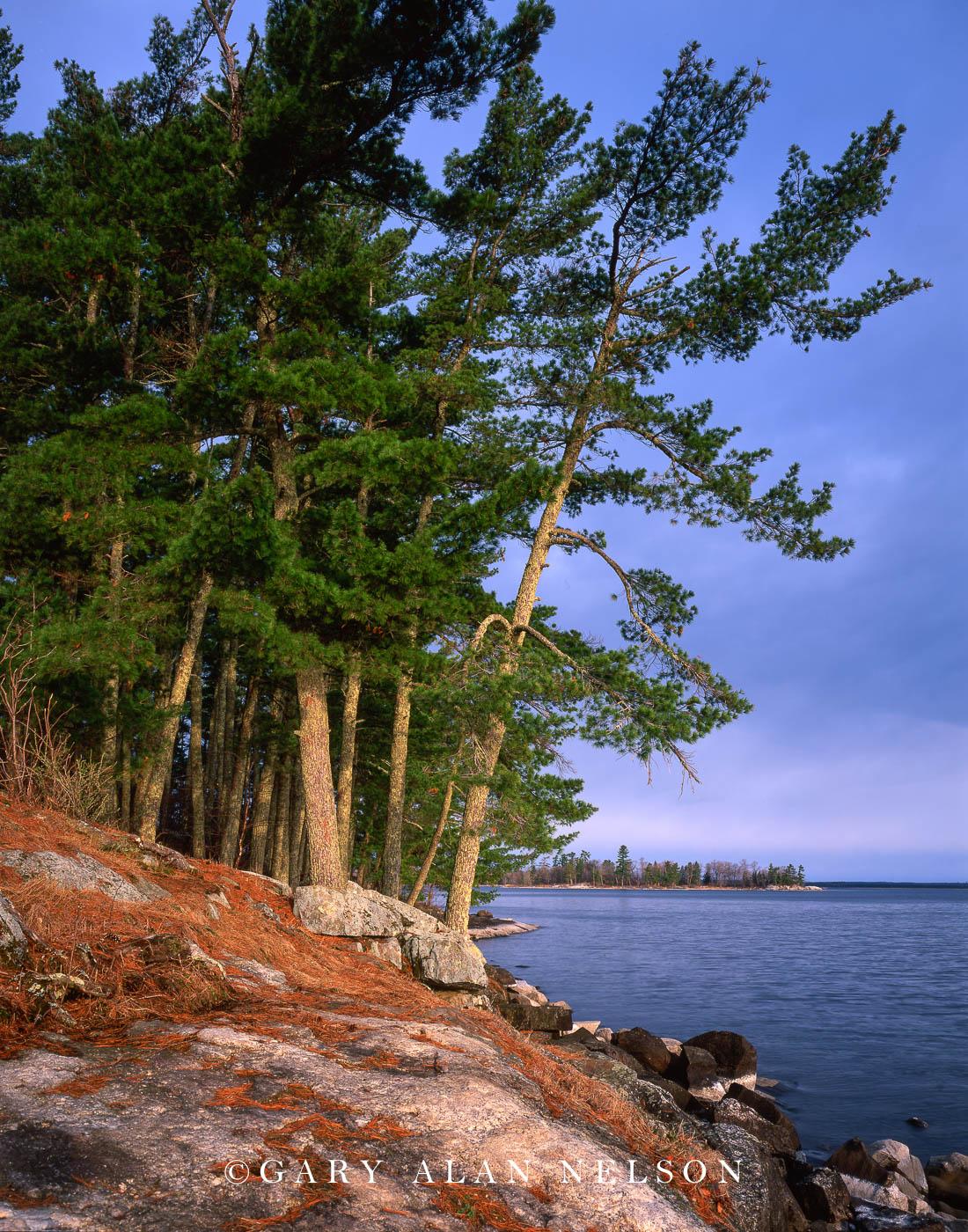 voyageurs national park, minnesota, kabetogama lake, white pine, photo