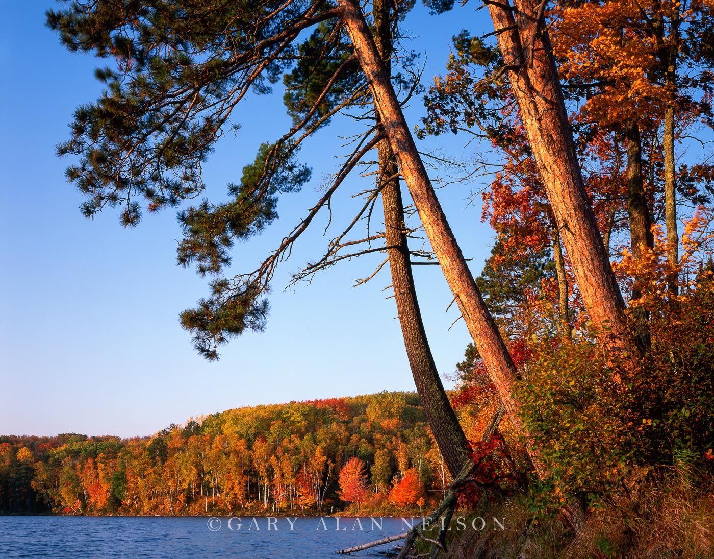 White and red pines leaning over Kremer Lake, Chippewa National Forest, Minnesota