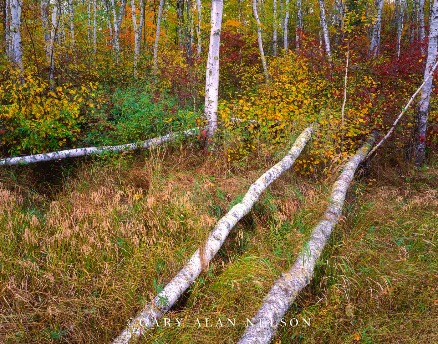 chippewa National Forest, minnesota, birch trees, photo
