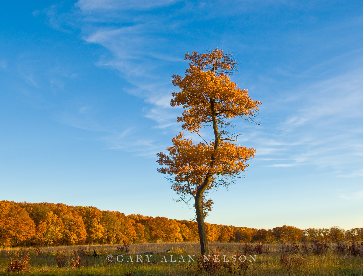 minnesota, oak, lone oak, natural area, photo