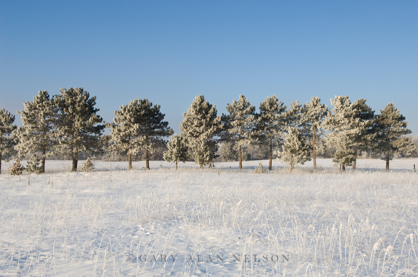 hoar frost, minnesota, pines, state park, photo