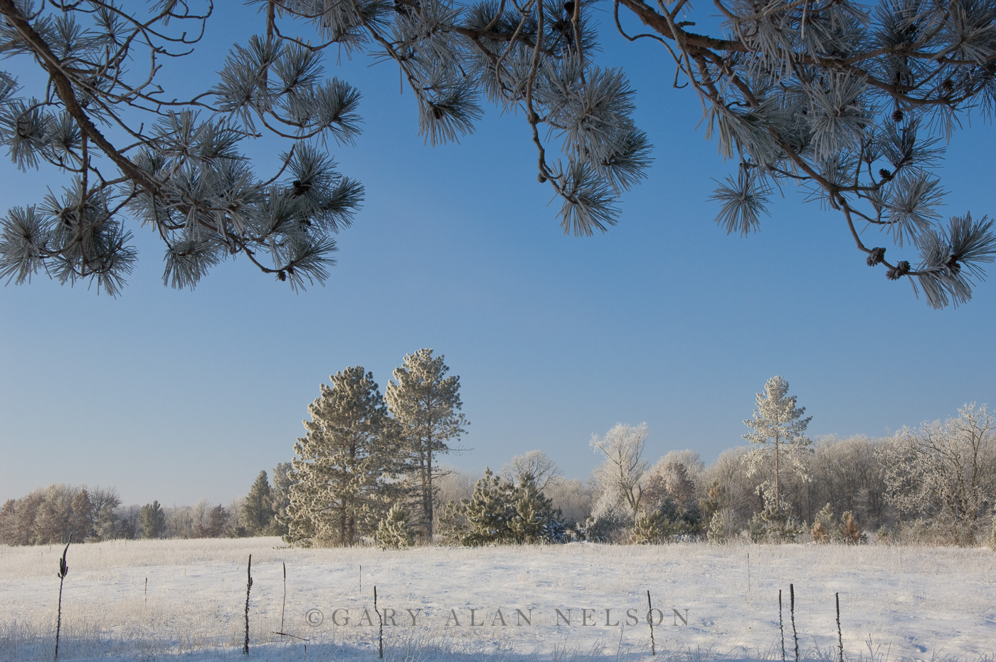 hoar frost, pines, state park, minnesota, photo