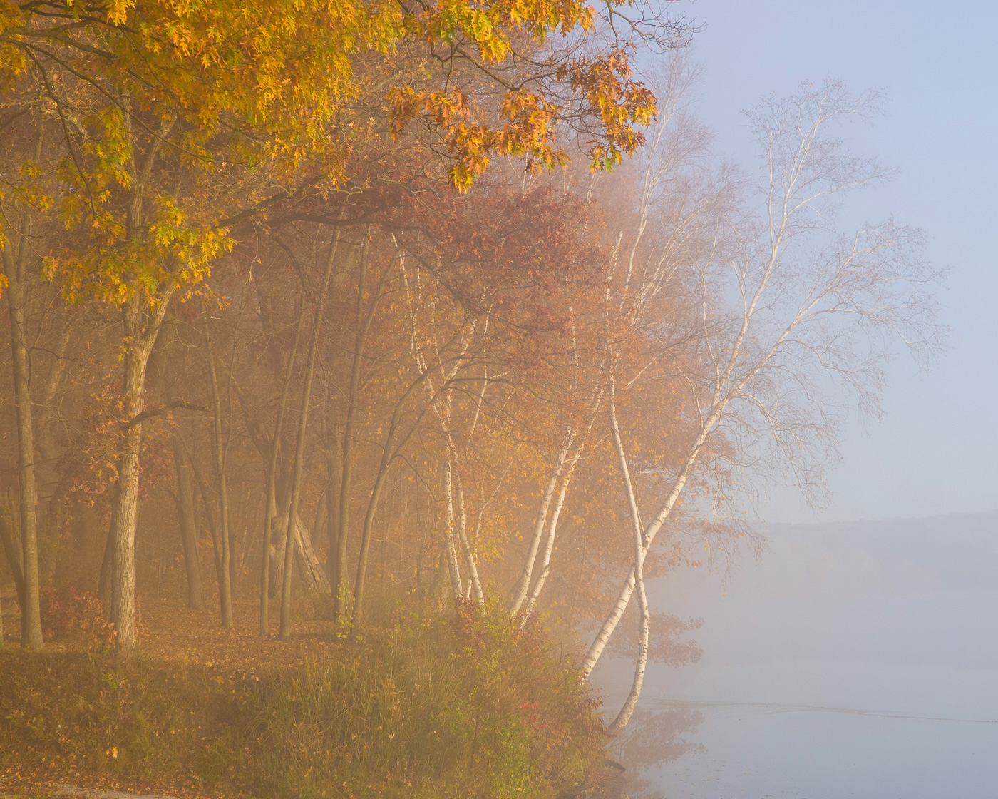 Birch and maple trees in fog along the shore of the St. Croix National Scenic River, Minnesota/Wisconsin