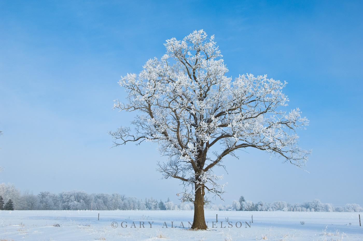 minnesota, oak, oak savannah, hoar frost, photo