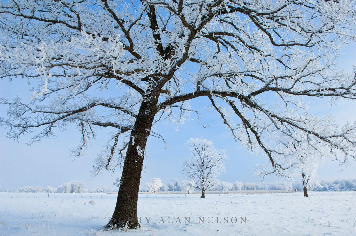 hoar frost, minnesota, oak savannah, photo