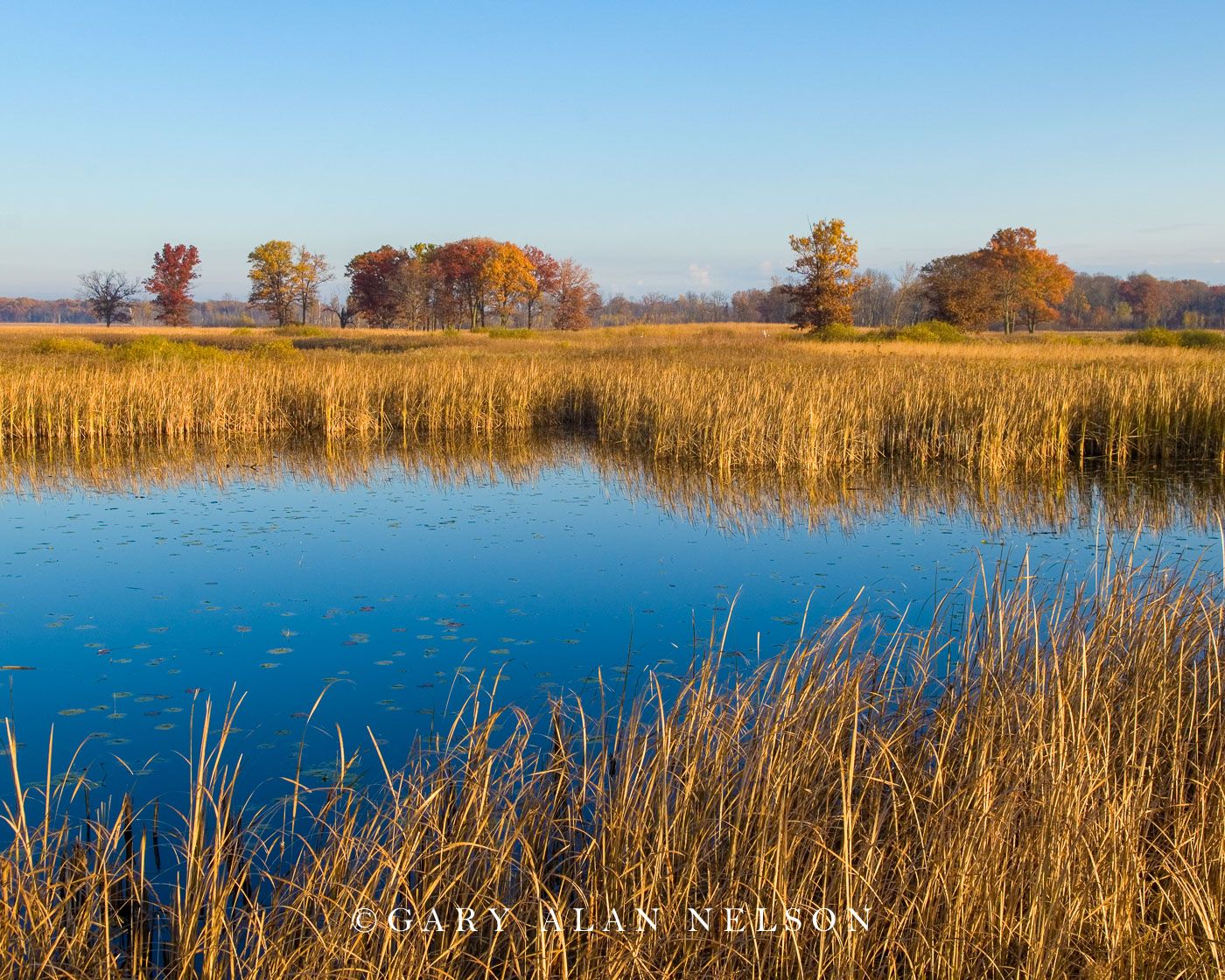 cattail marsh, photo
