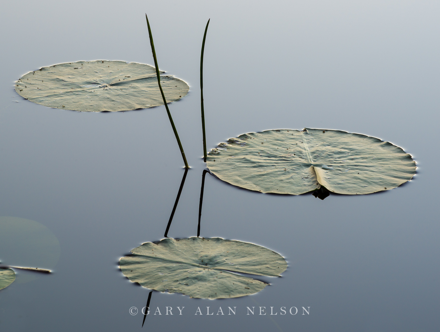 Allemansratt park,bulrushes,lily pads pads, photo