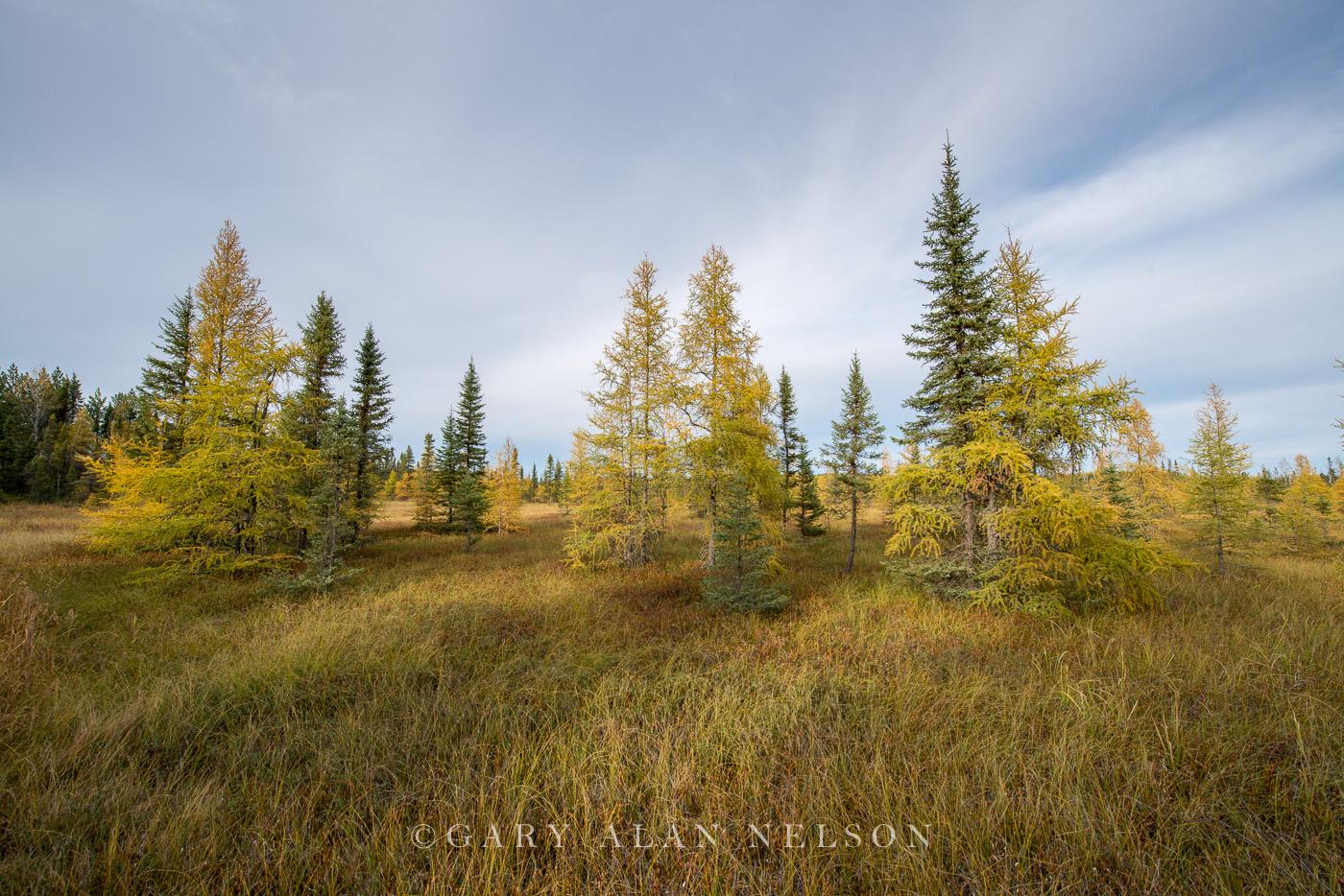 autumn,minnesota,national forest,tamarack tree, photo