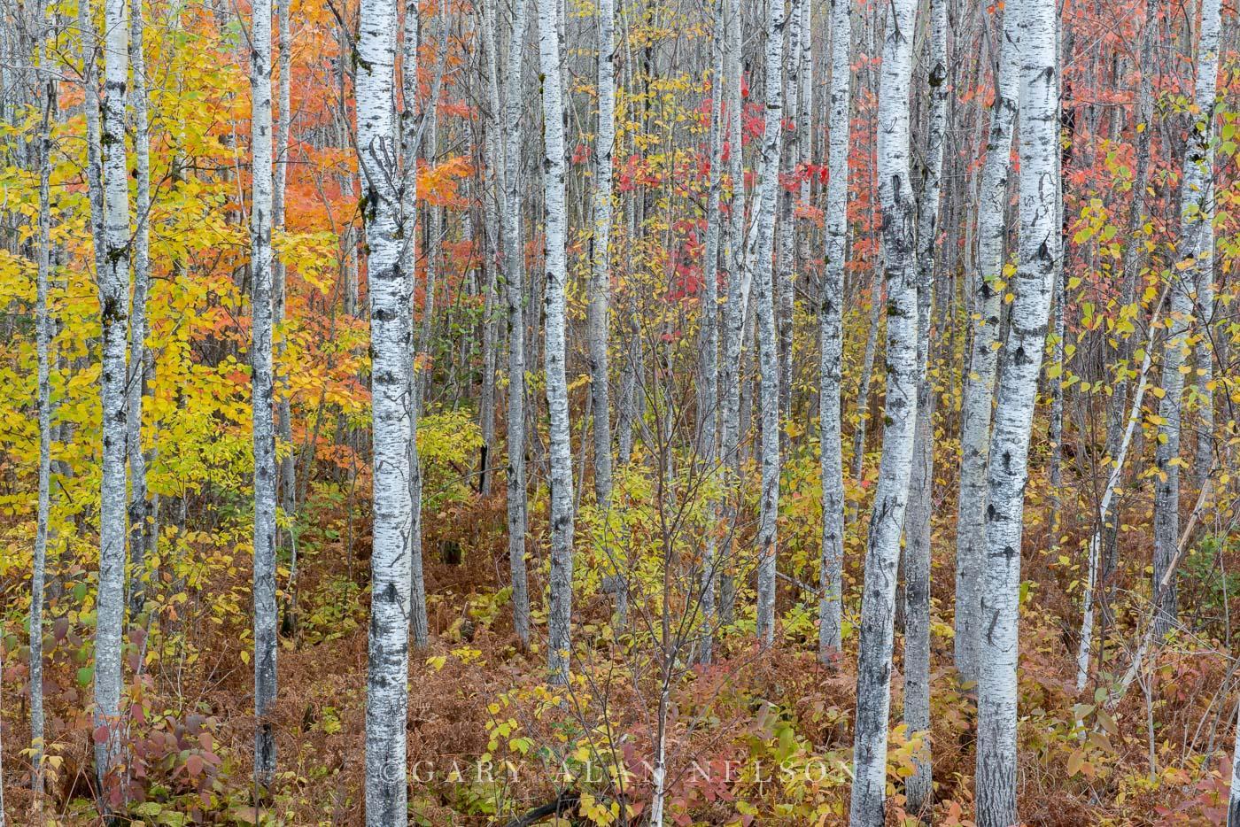 Aspens,Superior National Forest,autumn,minnesota, photo