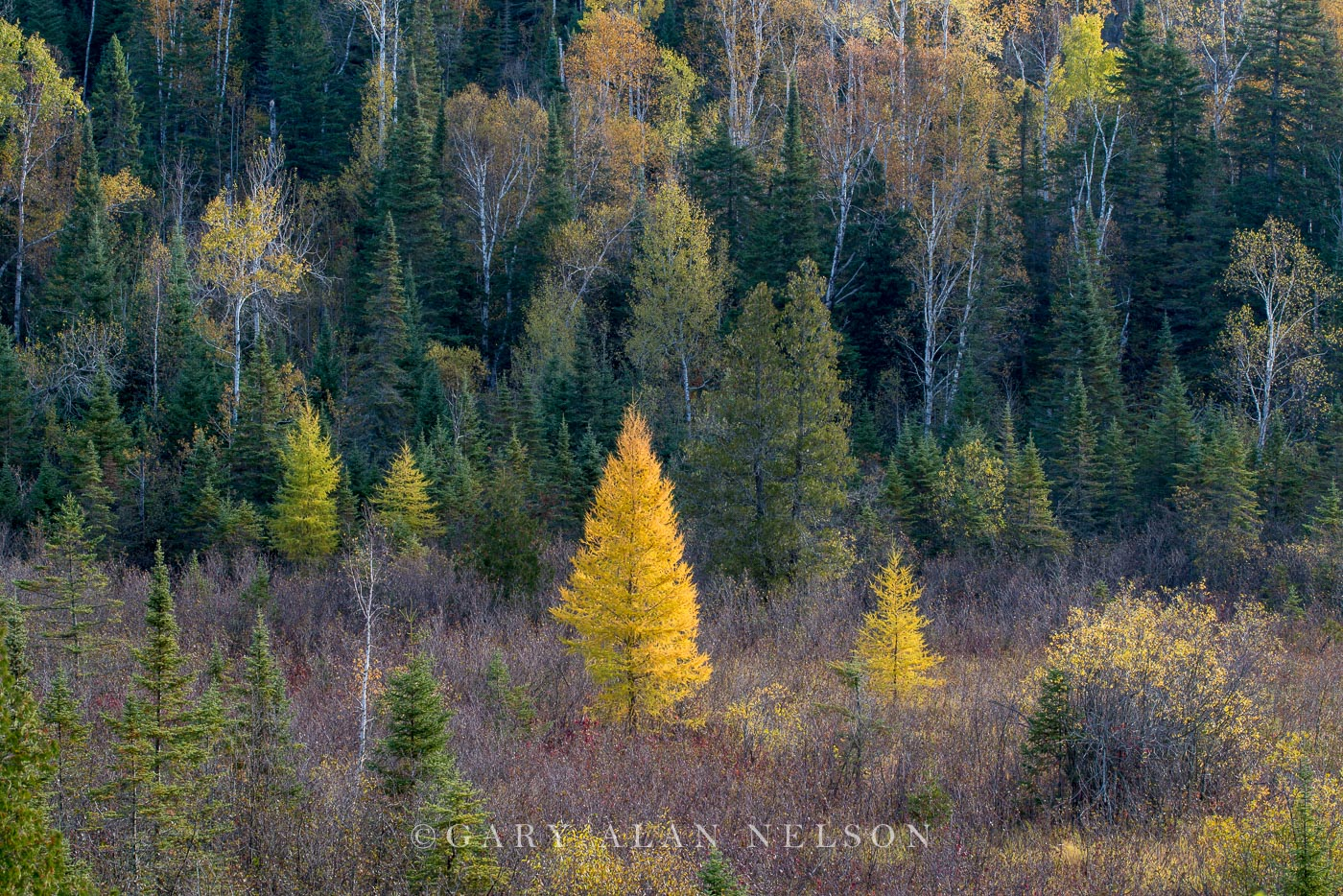 Tamarack and pine trees in autumn, Superior National FOrest, Minnesota