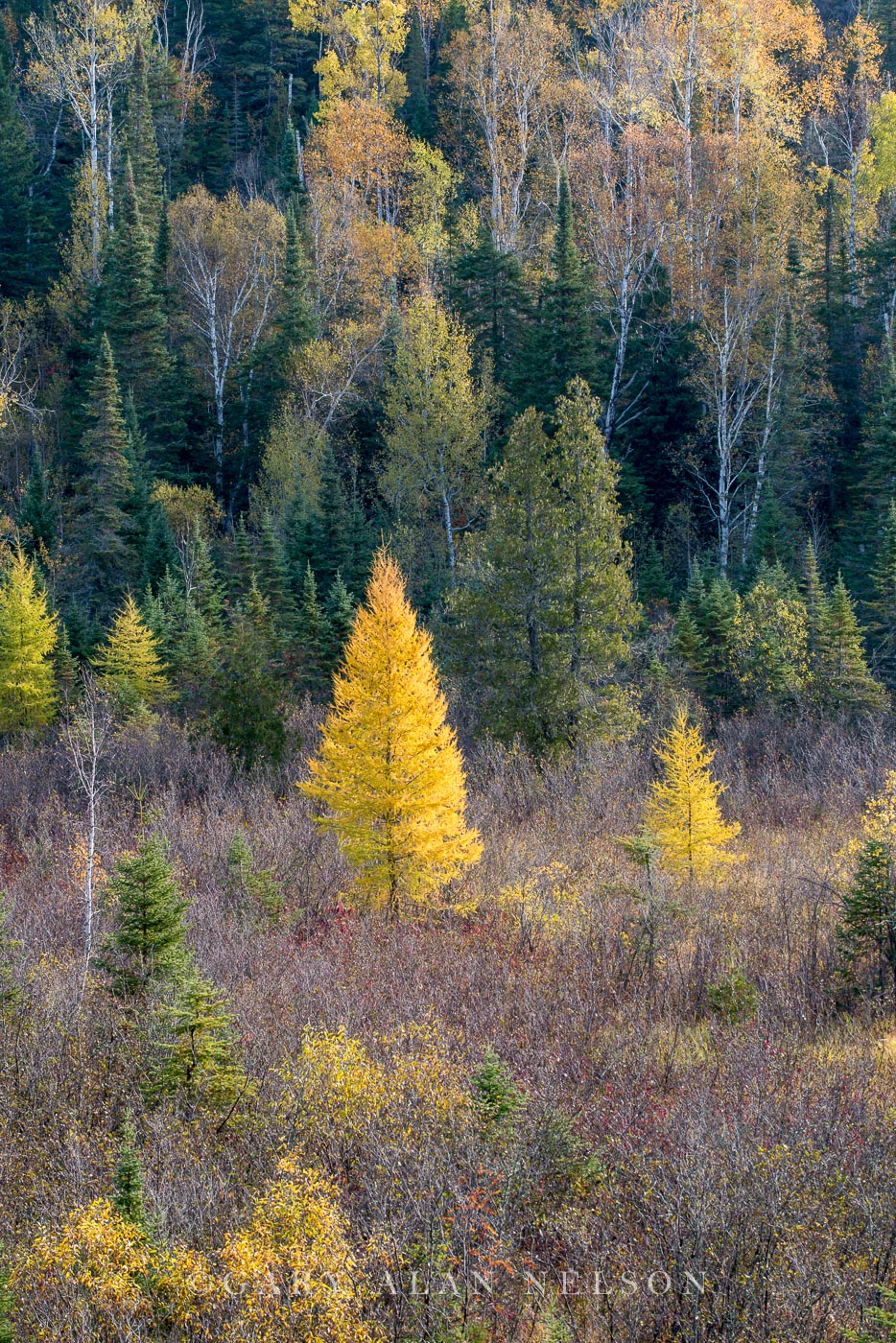 Superior National Forest,autumn,calm,minnesota,tamarack,tamarack tree, photo