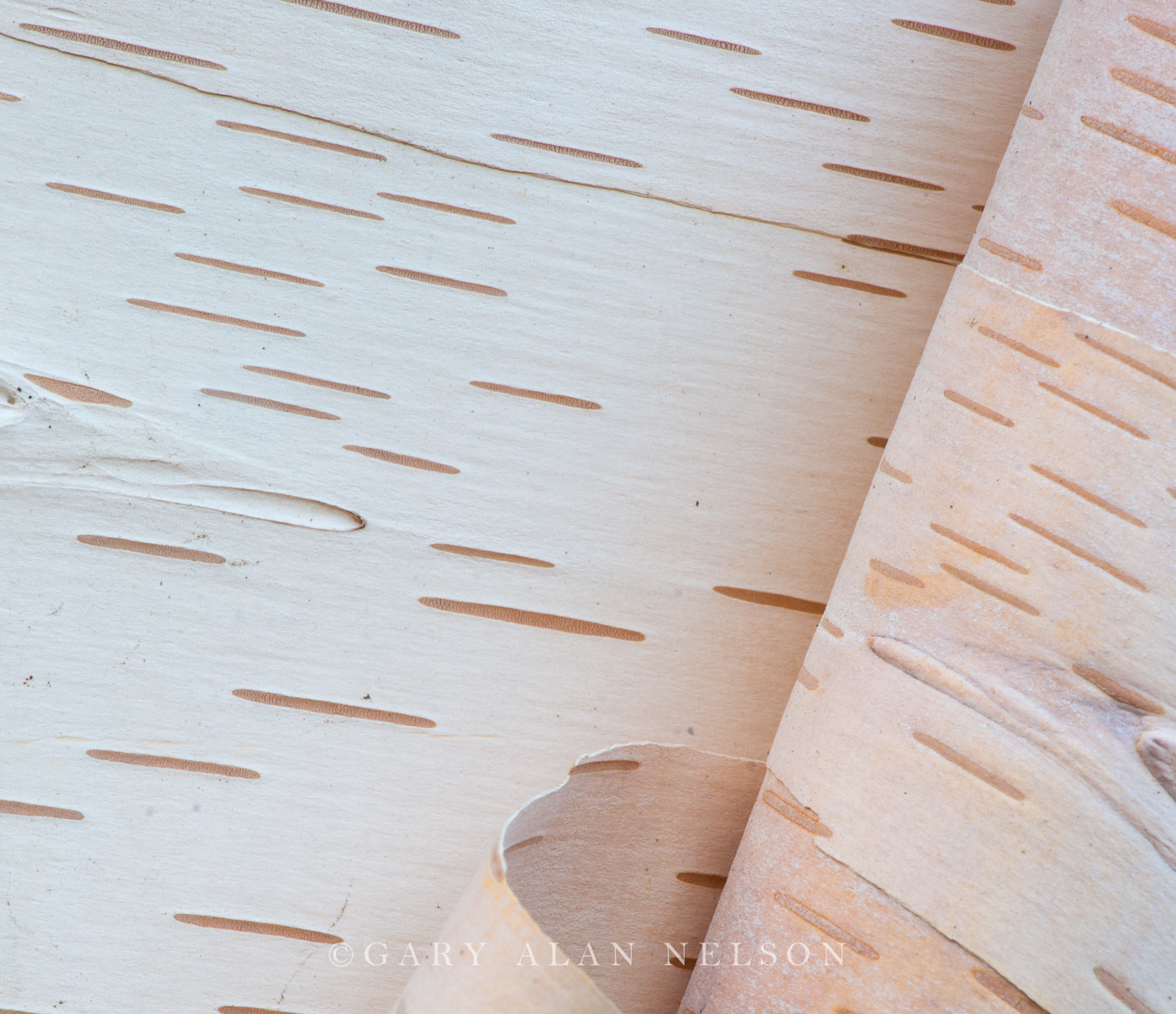 Carlos Avery,birch,birch bark,minnesota,wildlife management area, photo