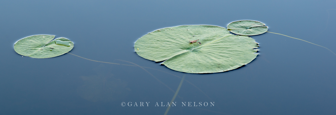 Allemansratt,blue,calm,green,lily pads,reflections,water, photo