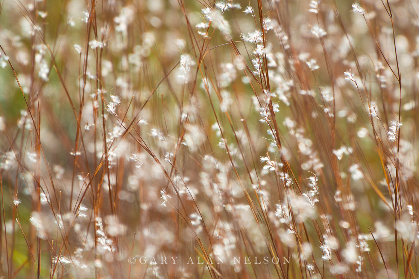 little bluestem,minnesota,prairie grass,state park, photo