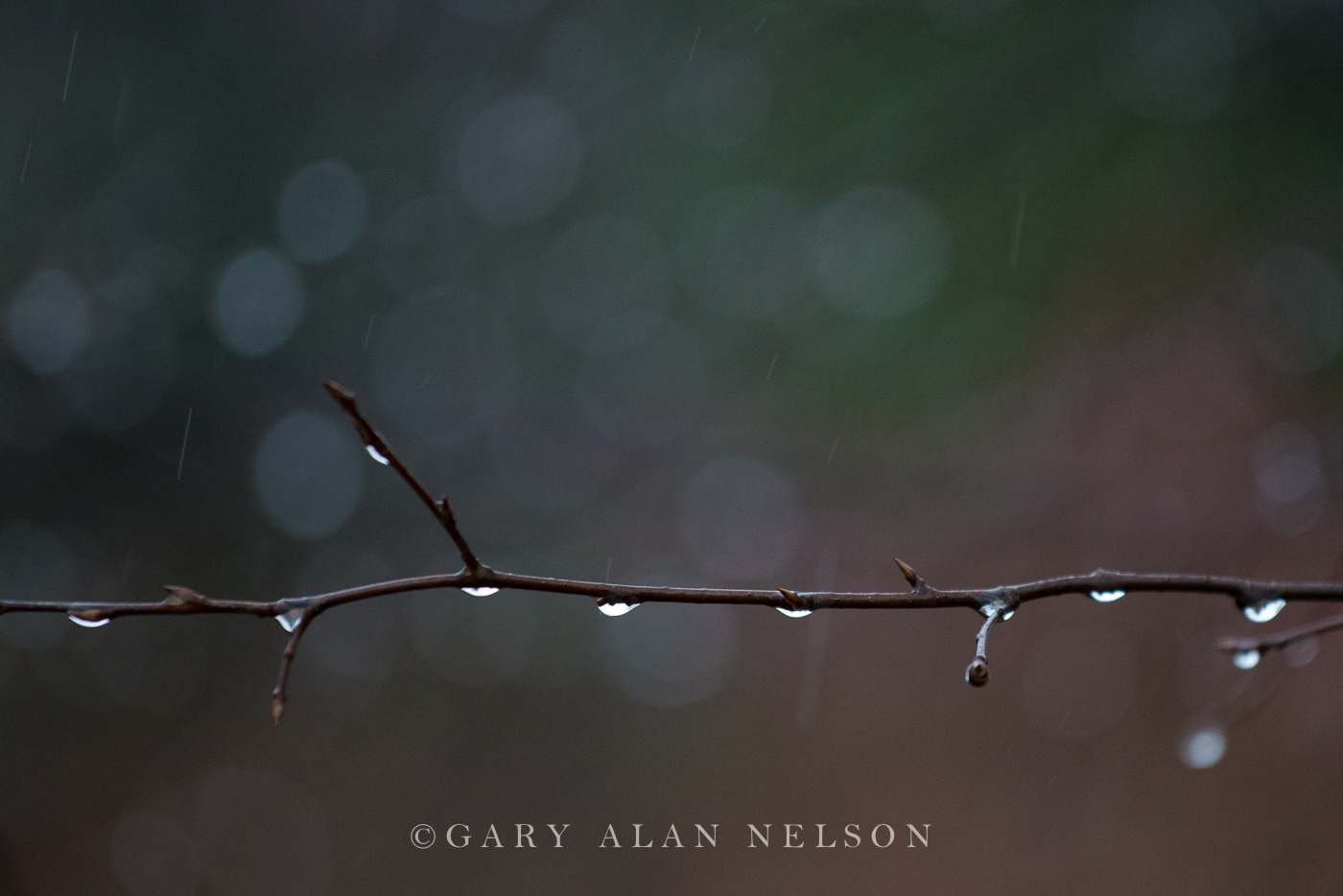 branches,minnesota,rain,rain drops,tree, photo