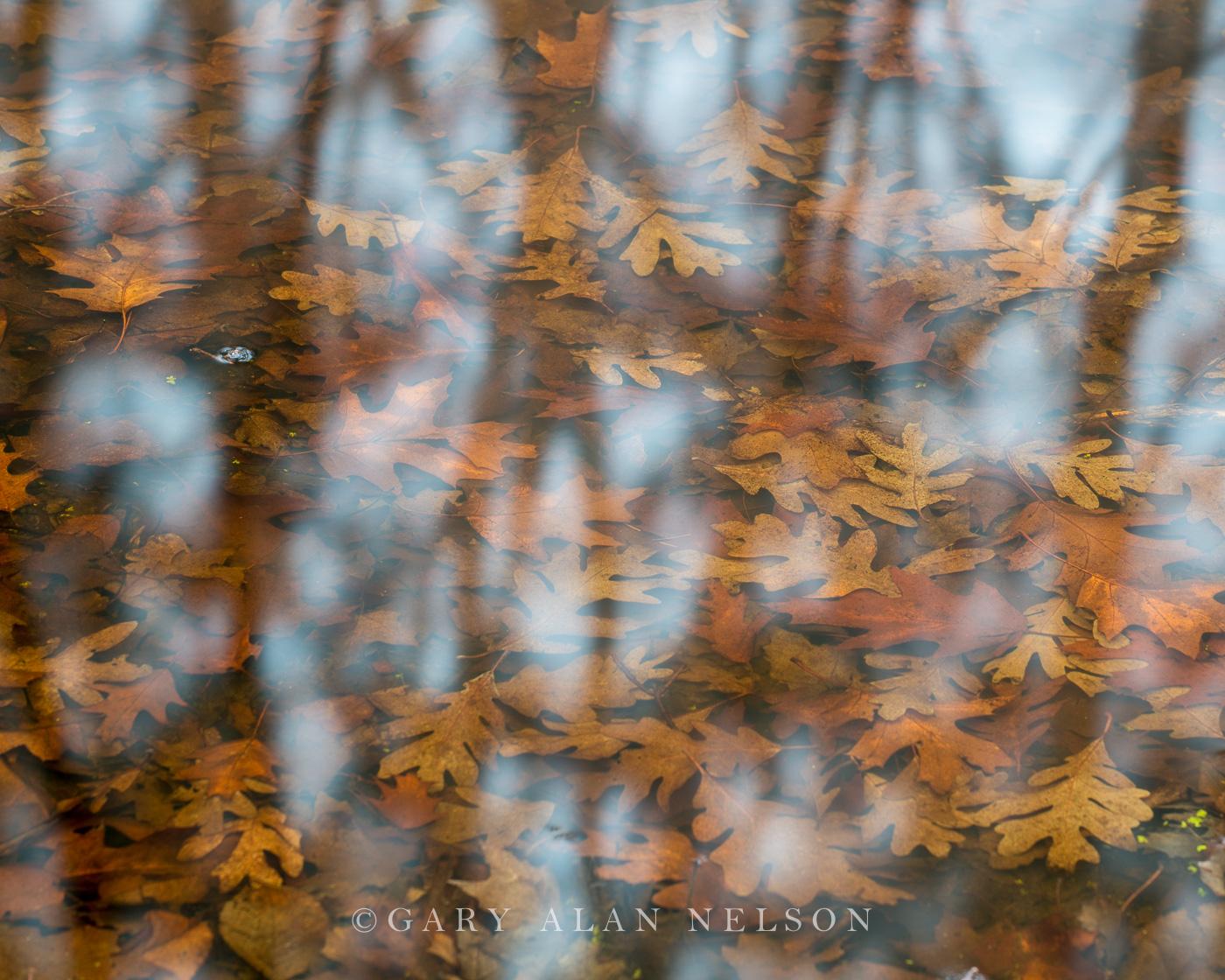 allemensratt,minnesota,oak,oak leaf,reflections,water, photo