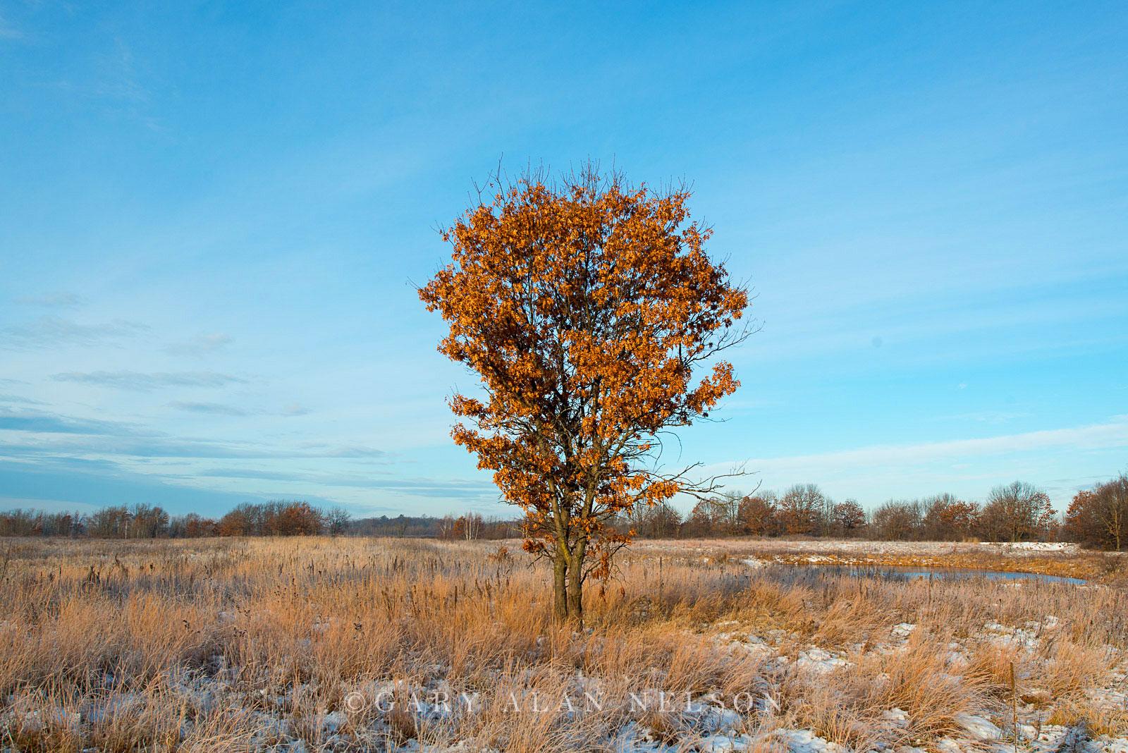 Oak tree on prairie, Carlos Avery State Wildlife Management Area, Minnesota