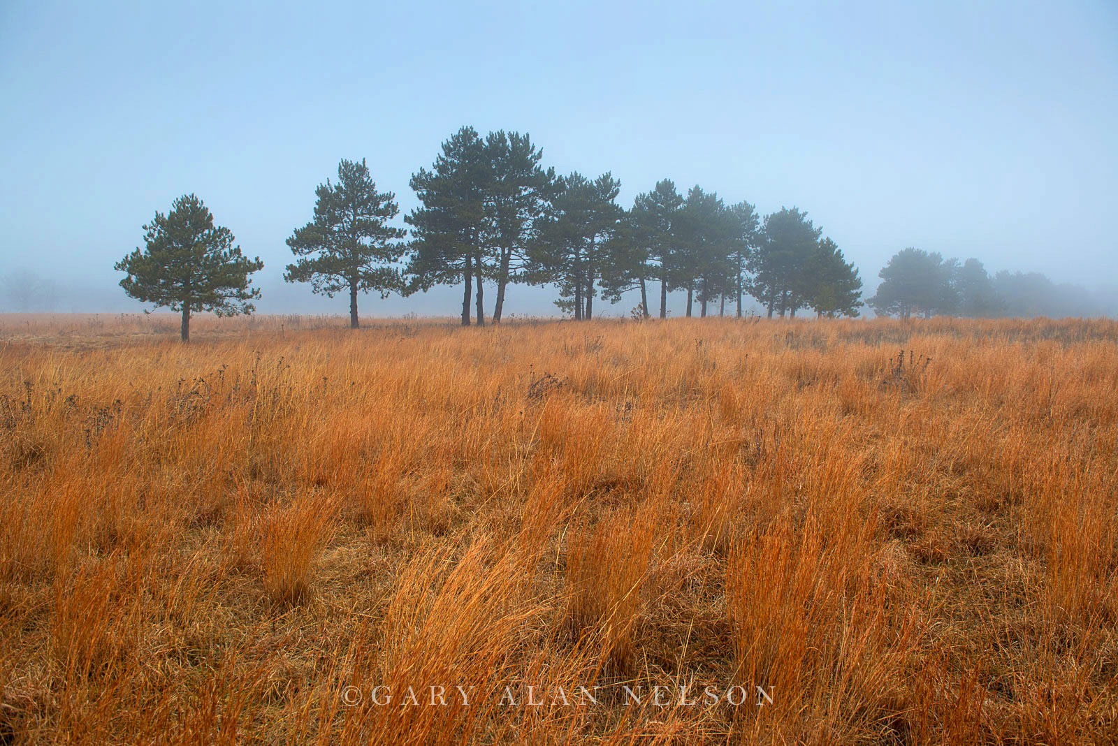 Prairie and pines in the fog, Wild River State Park, Minnesota