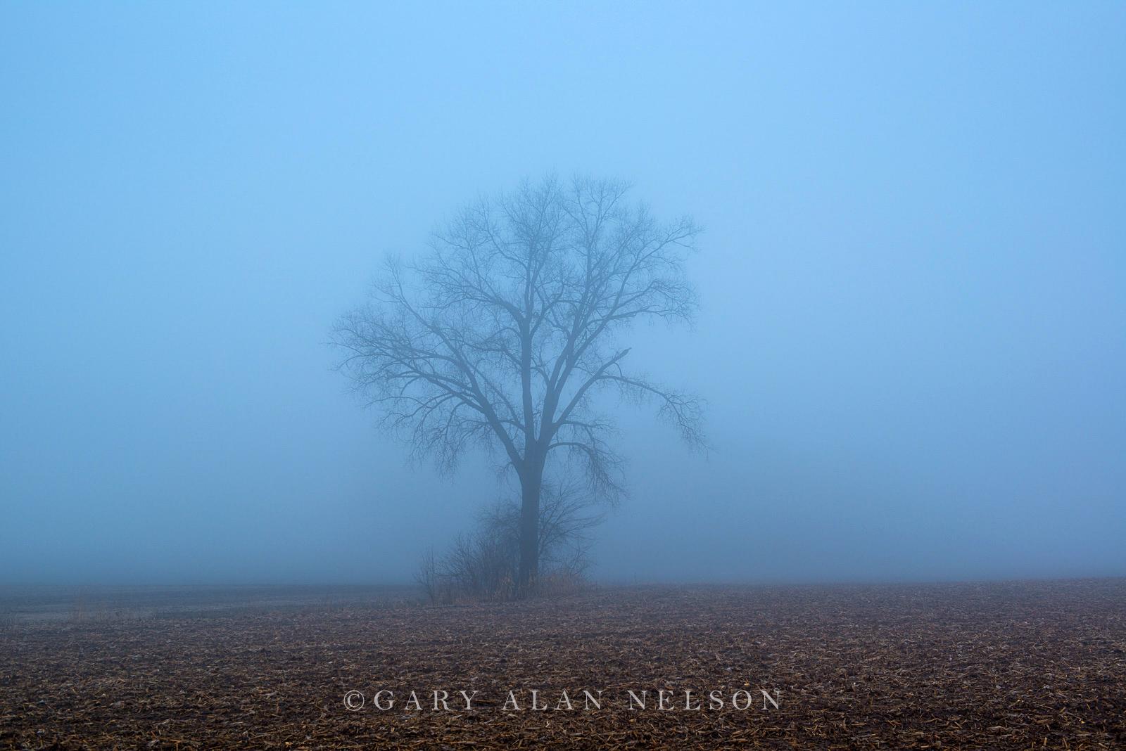 Oak outstanding in fog, Chisago County, Minnesota