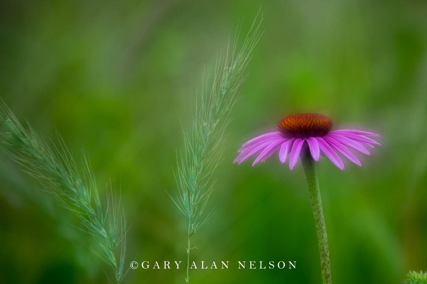 Purple Coneflower (Echinacea purpurea) and Canada wild rye (Elymus canadensis), Nelson Prairie, Lindstrom, MN