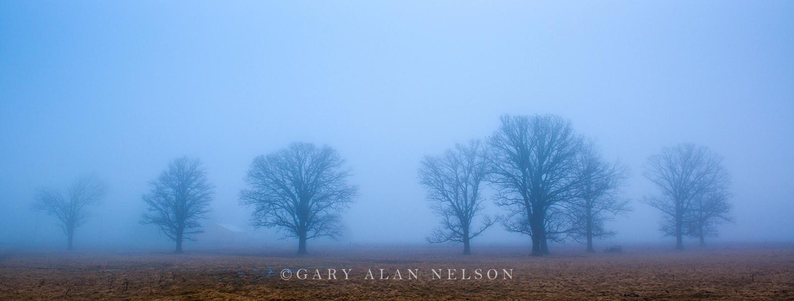 Oak trees outstanding in fog, Chisago County, Minnesota