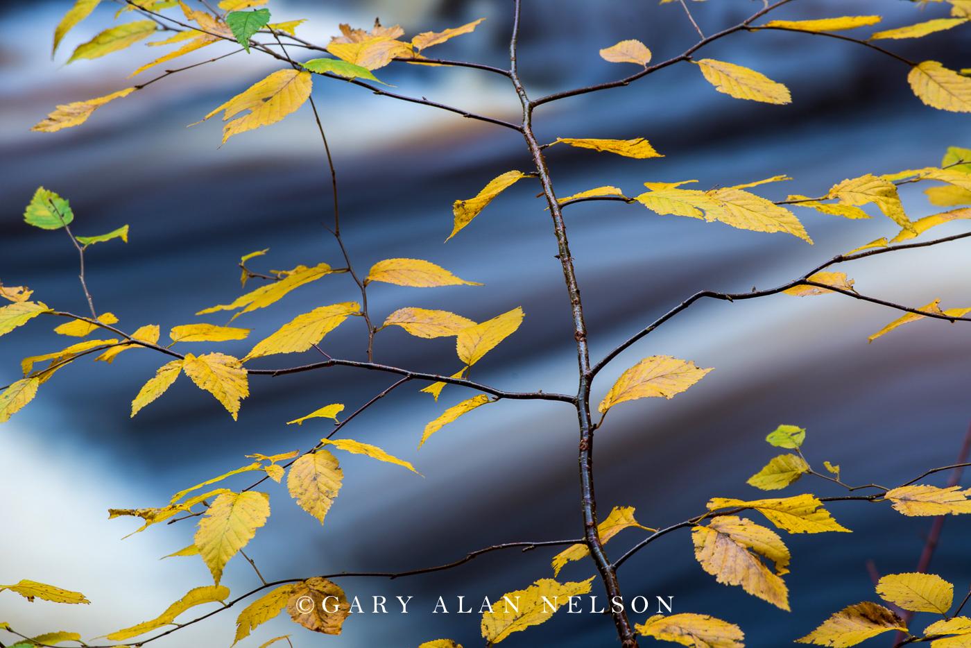 Birch leaves over the Cascade River, Cascade River State Park, Minnesota
