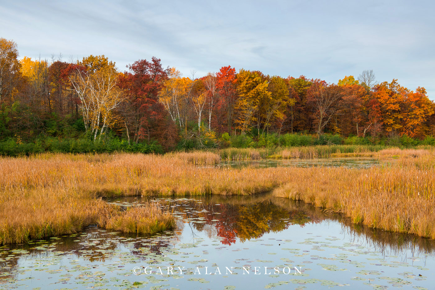 Lily pads in pond and woods in autumn at Lake Maria State Park, Minnesota