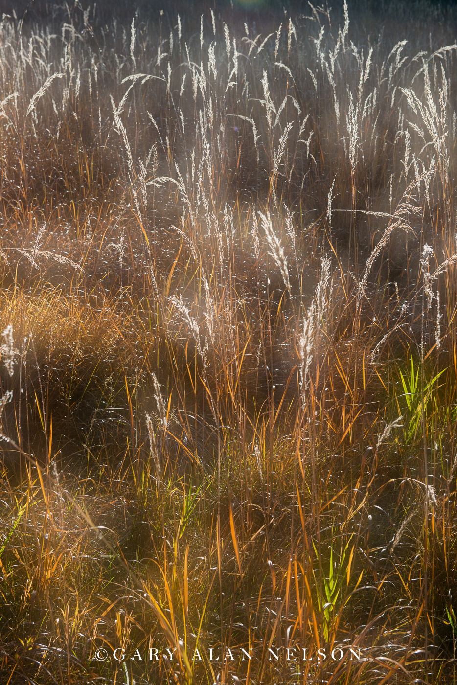 Indian grass on the prairie, Sibley State Park, Minnesot