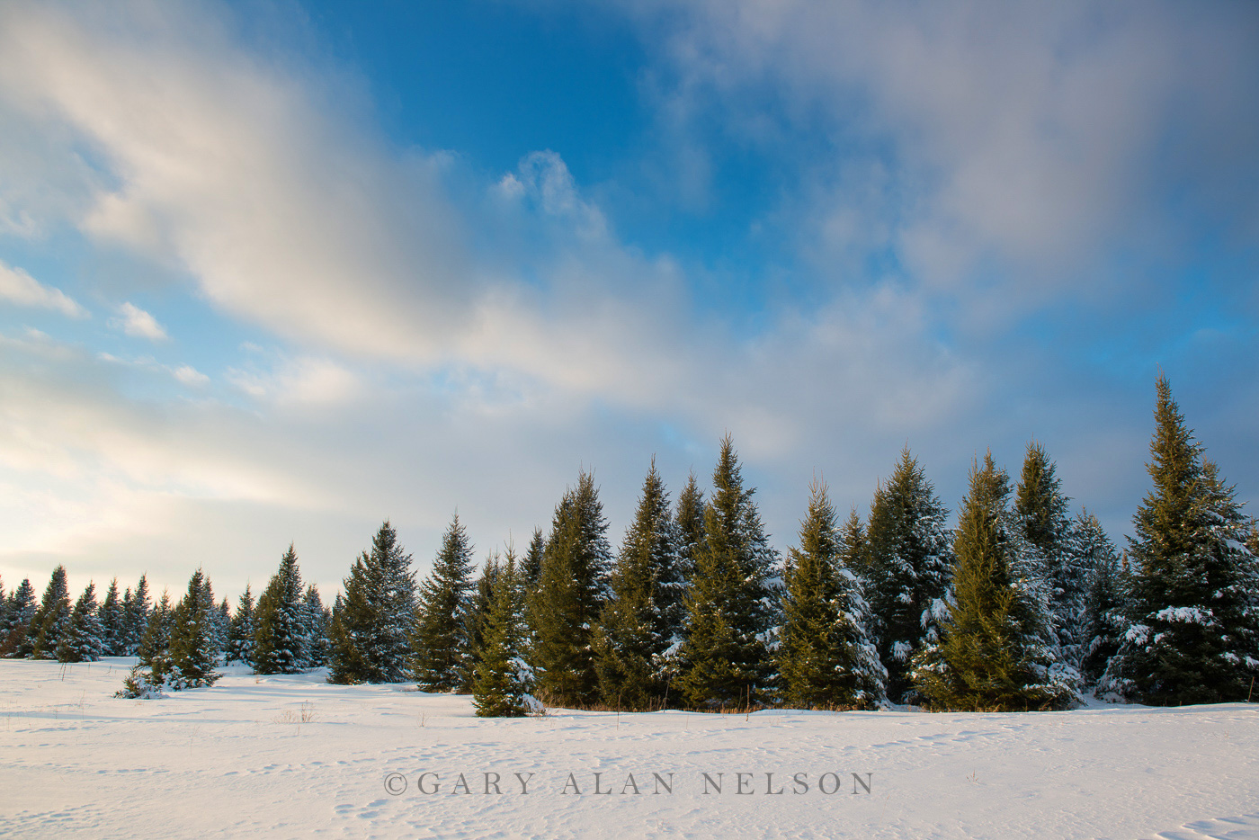 Pine trees covered in fresh snow, St. Croix River Valley, Minnesota