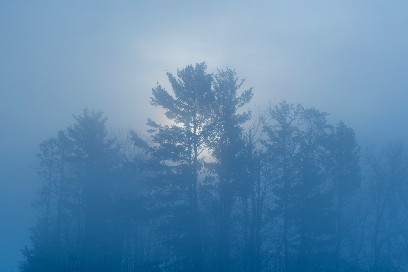 Fog and rising sun over white pines, St. Croix River Valley, Minnesota.