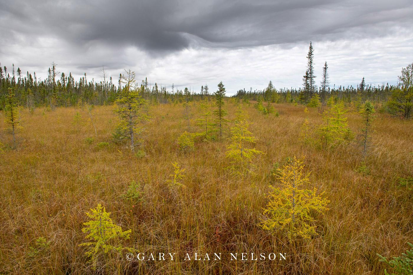 Tamaracs and pines on bog, Big Bog State Recreation Area, Minnesota
