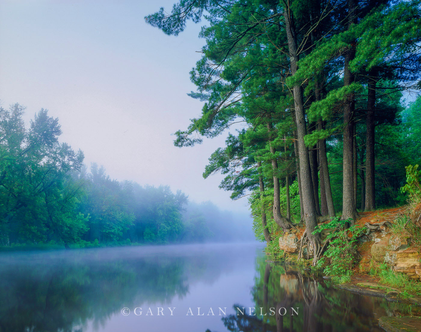 White Pines and fog towering over the St. Croix National Scenic River, Minnesota, Wisconsin