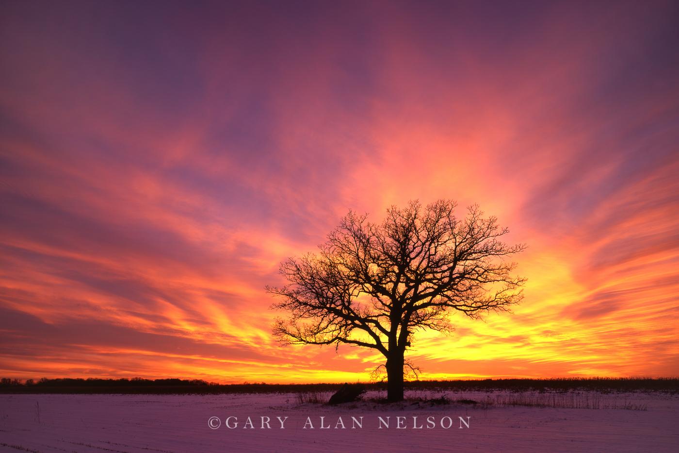 minnesota, lone oak, photo